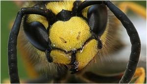 2011 ist Rekordjahr für Wespen