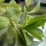 Stevia soll beim Abnehmen helfen