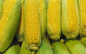 Gentechnisch veränderter Mais hat verheerende Folgen